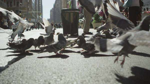 Pigeons take flight on a New York City street Royalty-free stock video