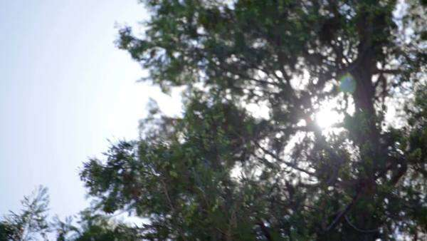Pan of sun streaking through branches of large pine tree Royalty-free stock video