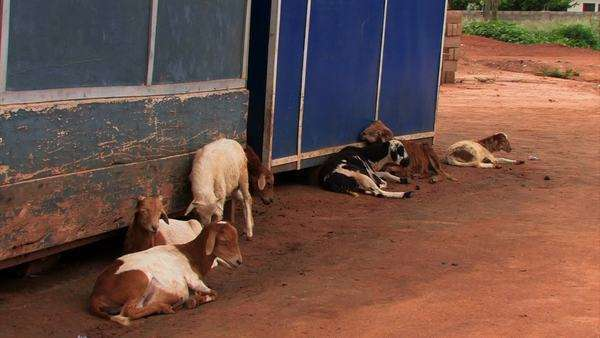 Seven goats sit in a small village in Ghana called Adomorobe. Royalty-free stock video