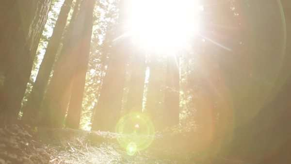 Slow mid-shot pan of sun breaking through tall pine trees and fern. California. Royalty-free stock video