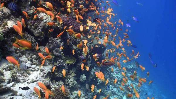 Colorful fish on vibrant coral reef, Red Sea Royalty-free stock video