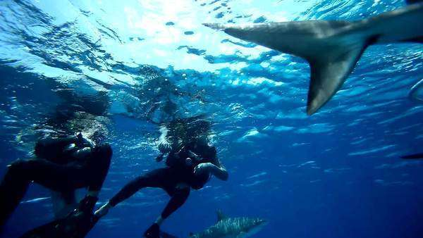 Long shot of scuba divers with sharks circling around below surface Royalty-free stock video