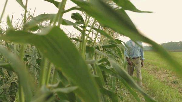 Black male farmer checking condition of corn crop Royalty-free stock video