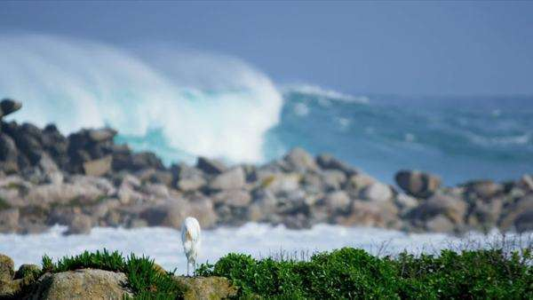 White egret perched on rocky coastline with high ocean surf crashing ashore shot on RED EPIC. Royalty-free stock video