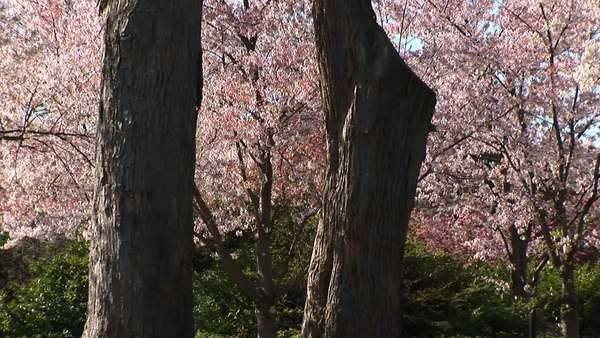 The camera slowly pans-up the trunks of two large trees and in the background beautiful cherry blossoms can be seen. Royalty-free stock video