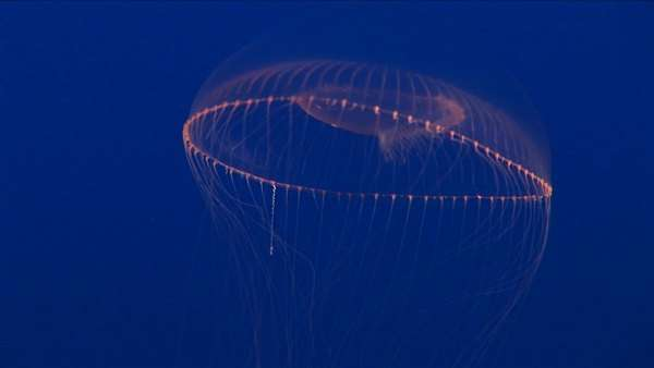 Underwater shot of a jelly-fish floating in the ocean. Royalty-free stock video