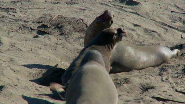 Elephant seals fight on a beach. Royalty-free stock video