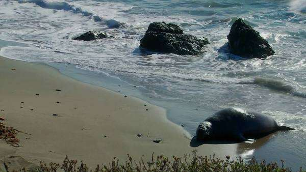 An elephant seal lies in the surf. Royalty-free stock video