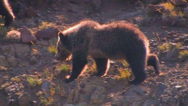 A young bear cub walks along a hillside. Royalty-free stock video