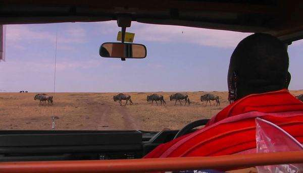 A Masai tribes-man waits in a vehicle for wildebeest to cross the road. Royalty-free stock video