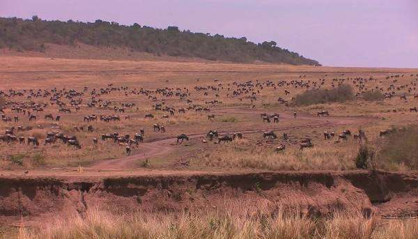 A large herd of wildebeest fill the plain. Royalty-free stock video