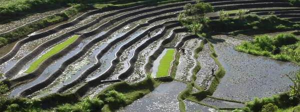 People work in a terraced rice field. Royalty-free stock video