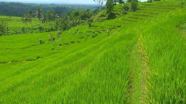 A breeze blows over a lush green terraced hill on a rice farm. Royalty-free stock video