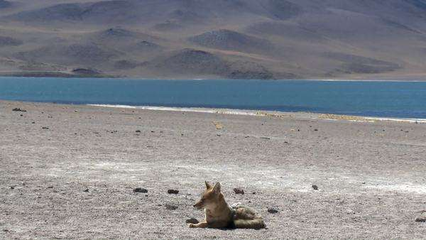 A desert fox in the altiplano near Laguna Miniques in the altiplano high above San Pedro de Atacama Chile. Royalty-free stock video
