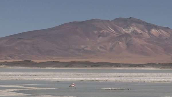 Flamingos in the Salar de Laco in the altiplano high above San Pedro de Atacama Chile. Royalty-free stock video