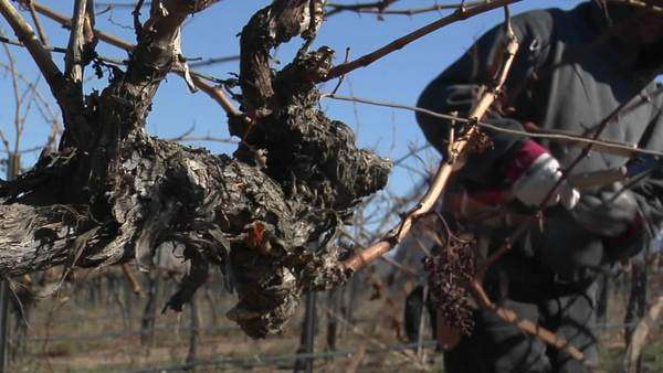 A field worker prunes dormant vines in a California vineyard. Royalty-free stock video
