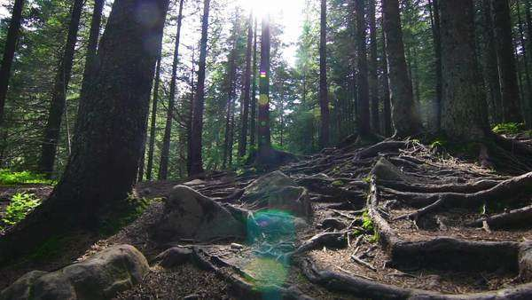 Tree roots in a magical pine forest on the hillside, with lens flare Royalty-free stock video