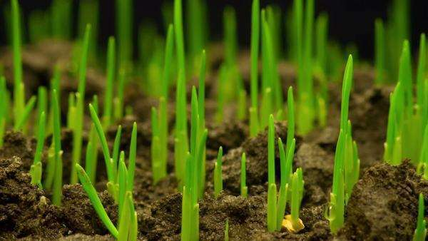 Accelerated growth of new green grass from dark earth, timelapse Royalty-free stock video