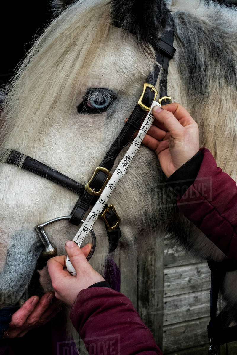 Close up of person measuring length of bridle cheek piece on white Cob horse. Royalty-free stock photo