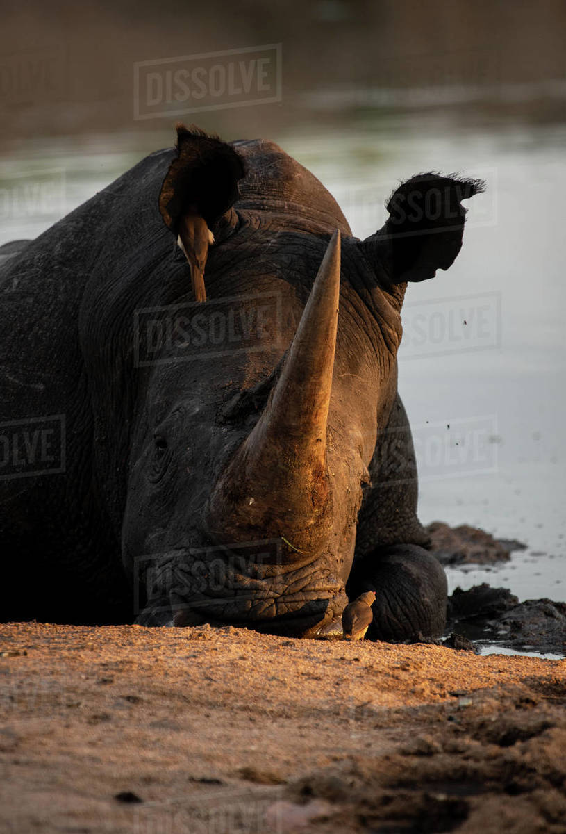 A white rhino, Ceratotherium simum, lies down in a waterhole, resting head on ground, sunset light Royalty-free stock photo