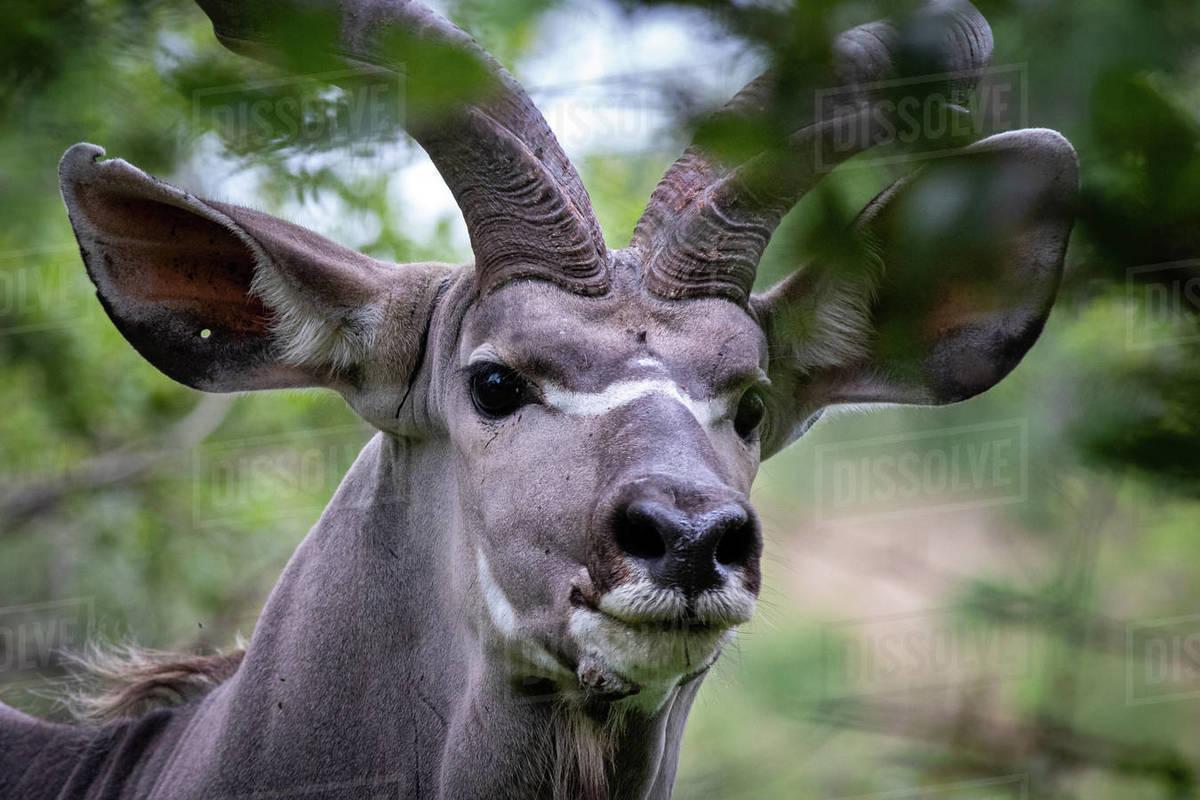 The head of a kudu, Tragelaphus strepsiceros, direct gaze, ears forward Royalty-free stock photo