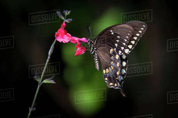 Close-up of a Swallowtail butterfly sitting on a pink flower. Royalty-free stock photo