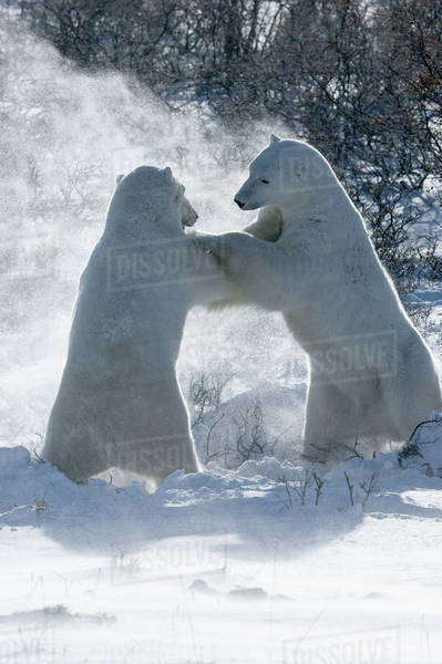 Two polar bears standing upright on their hind legs wrestling each other.  Royalty-free stock photo