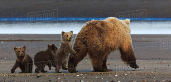 Brown bear sow and cubs, Lake Clark National Park, Alaska, USA Royalty-free stock photo