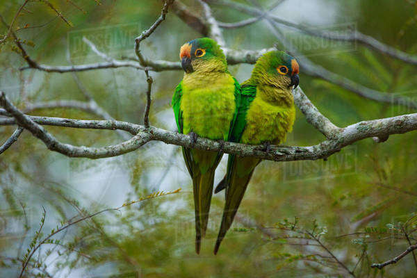 Peach-fronted parakeets, Aratinga aurea, Brazil Royalty-free stock photo