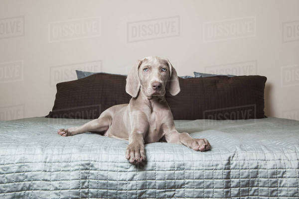 A Weimaraner puppy sitting alert on a bed. Royalty-free stock photo