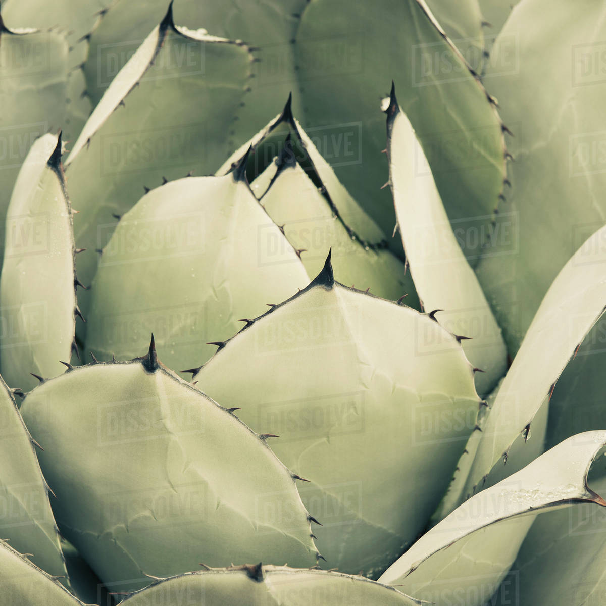 Close Up Of An Agave Cactus Plant With Large Grey Green Leaves