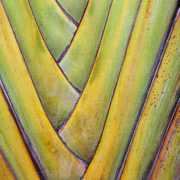 Traveller's Palm or fan palm tree, with intersecting leaf stems, fitting closely together, in Tulum, Mexico. Royalty-free stock photo