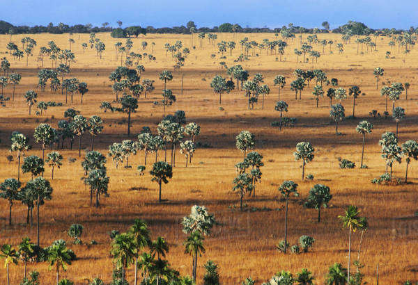 Palm savanna, a tree covered plain on Horombe Plateau, Southern Madagascar Royalty-free stock photo