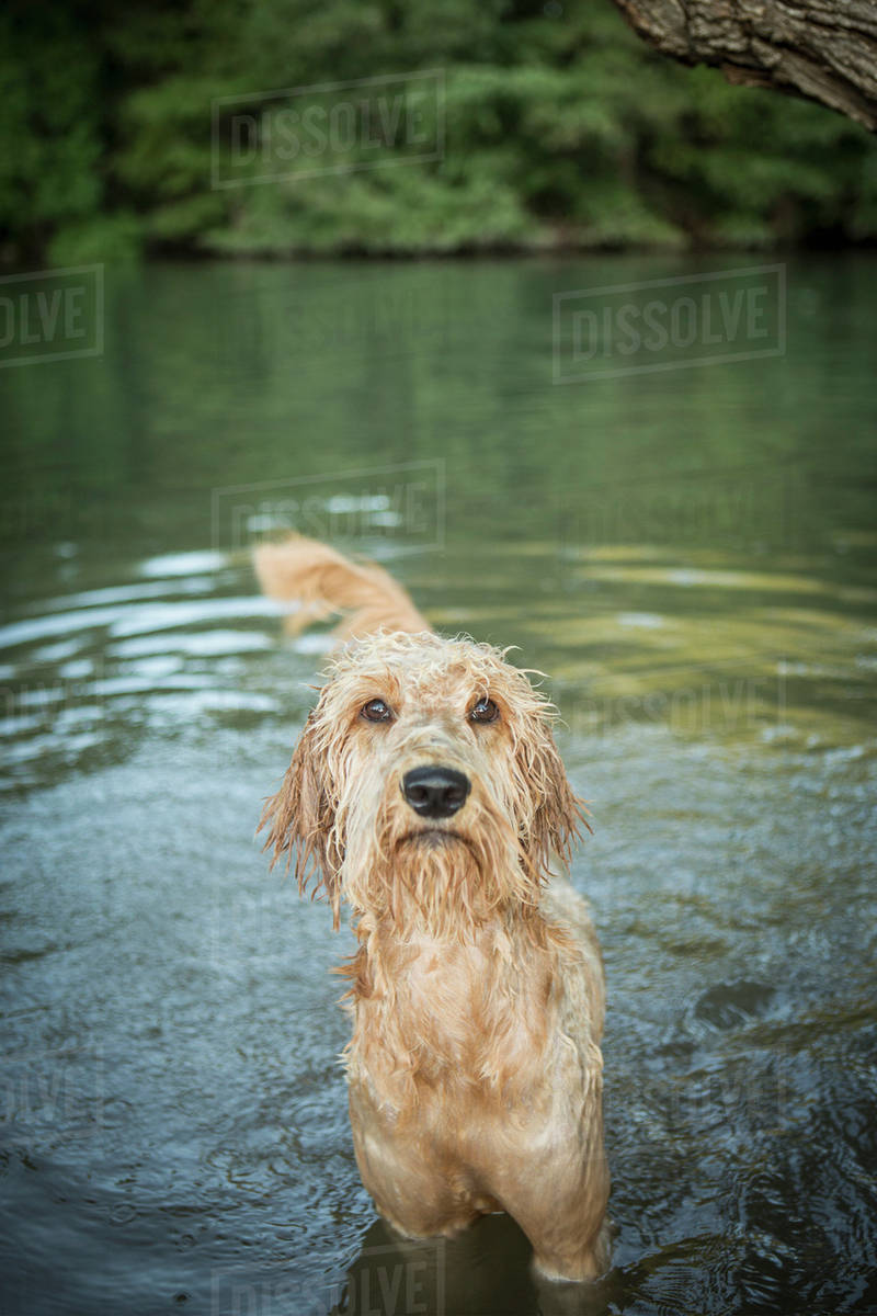 A golden labradoodle standing in the water looking up expectantly.  Royalty-free stock photo