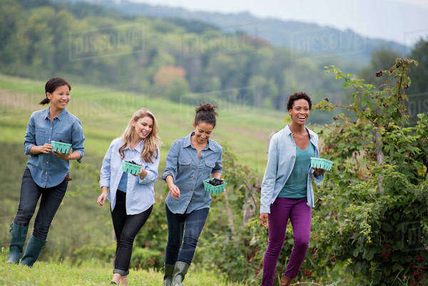 Picking blackberry fruits on an organic farm. Four women walking among the rows of fruit canes. Royalty-free stock photo
