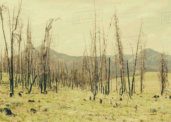 Fire damaged trees and forest in Payette National Forest in Valley County, Indiana. Royalty-free stock photo