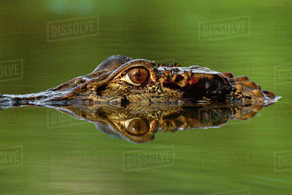 Black caiman, Melanosuchus niger, Manu National Park, Peru Rights-managed stock photo