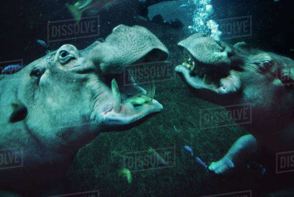 Hippos underwater, Hippopotamus amphibius, captive Rights-managed stock photo