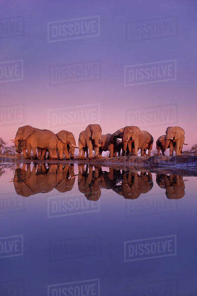 African elephants, Loxodonta africana, at a waterhole, at sunset in Chobe National Park, Botswana Rights-managed stock photo