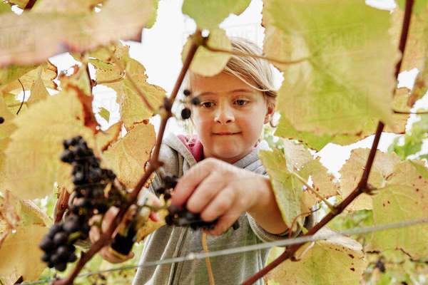 A young girl using secateurs to cut a bunch of black grapes off the vine.  Royalty-free stock photo