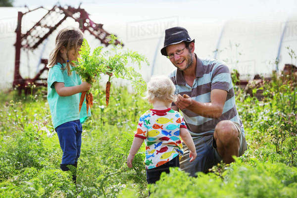 A man, a toddler, and a girl harvesting carrots in a vegetable patch. Royalty-free stock photo