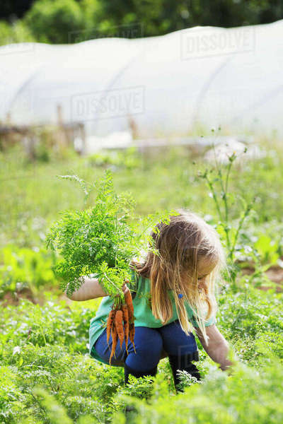 A girl picking carrots in a vegetable patch. Royalty-free stock photo