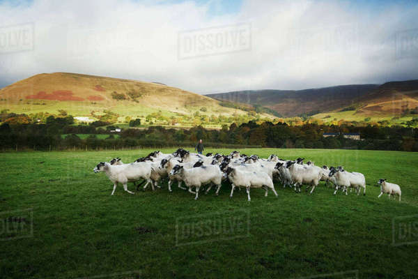 Herd of sheep running on a meadow, hills in the distance. Royalty-free stock photo