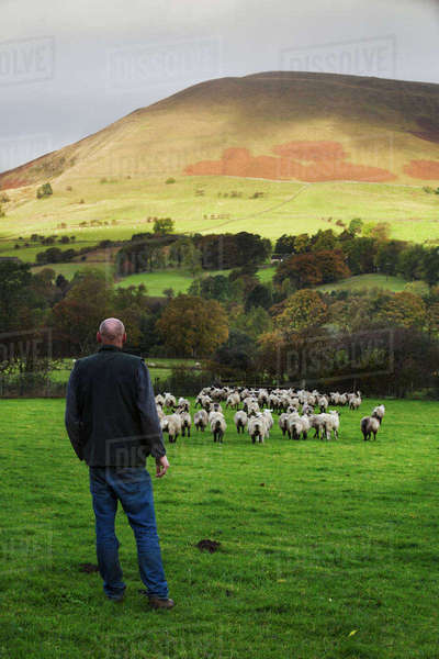 Sheep farmer, shepherd standing on a meadow watching a large flock of sheep, hills in the distance. Royalty-free stock photo