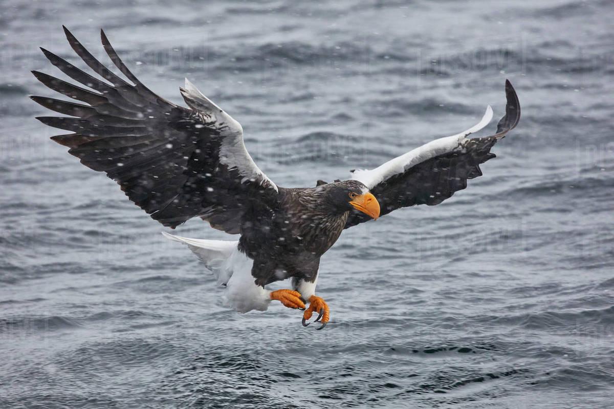 Image result for Haliaeetus pelagicus