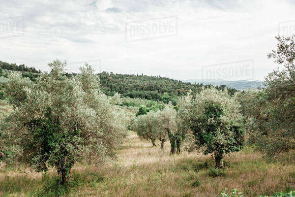 Olive trees in an orchard Royalty-free stock photo
