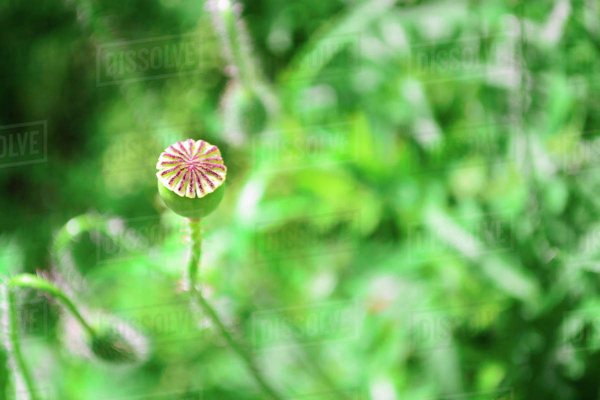 Buds Of Poppy In Meadow Stock Photo Dissolve