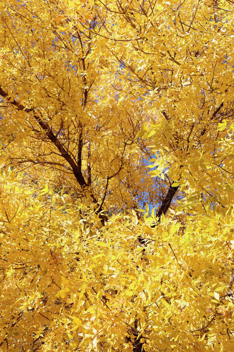 Trees With Yellow Leaves Stock Photo Dissolve