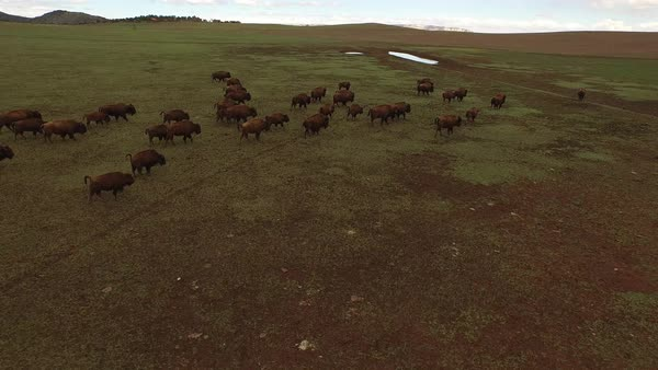 A herd of buffalo travel together across the grasslands. Royalty-free stock video