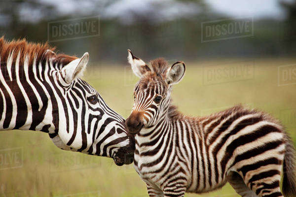 Mom and Baby Zebra Royalty-free stock photo
